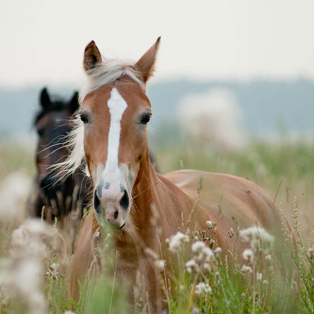 Hippolyt Ylipainoiset hevoset